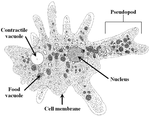 006kursdemo01 additionally Mytilus 1 in addition Stock Vector Structure Of Fibroblast Cells These Cell Are Vital To The Skin S Strength And Elasticity The further AH 27s Protist Lab Activity besides 12392633. on euglena cell labeled