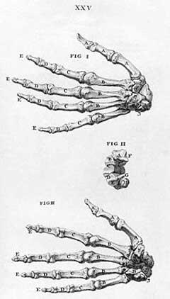 menschliche skelett von hinten