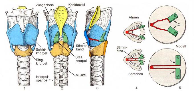 Kehlkopf - Larynx || Med-koM